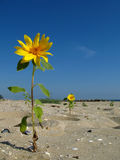 солнцецвет пляжа Стоковые Фото