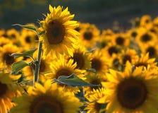 солнцецвет полей фермы дня малый солнечный Стоковое фото RF