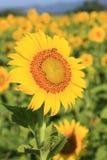 солнцецвет поля одиночный Стоковое Изображение
