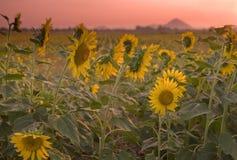 солнцецвет поля сумрака Стоковые Фотографии RF