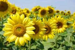 солнцецвет поля Стоковые Изображения RF