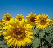 солнцецвет поля Стоковое Фото