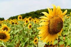 солнцецвет поля Стоковые Фотографии RF