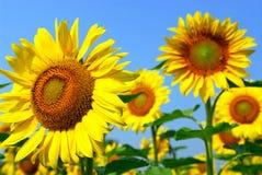 солнцецвет поля Стоковое Изображение RF