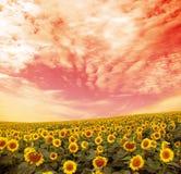 солнцецвет поля стоковая фотография