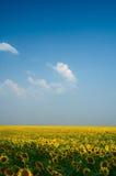 солнцецвет поля Стоковые Фото