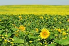 солнцецвет поля canola Стоковое Изображение