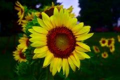 Солнцецвет после грозы лета стоковые изображения rf