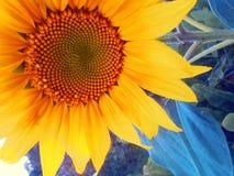 Солнцецвет - предпосылка цветка близкая поднимающая вверх Стоковое Изображение RF