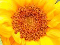 солнцецвет предпосылки естественный Зацветать солнцецвета близкий солнцецвет вверх зацветая солнцецветы поля Взгляд сверху стоковые изображения