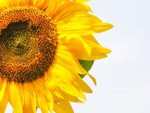 солнцецвет предпосылки естественный Зацветать солнцецвета близкий солнцецвет вверх зацветая солнцецветы поля Взгляд сверху стоковое фото