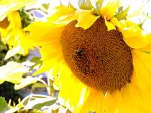 солнцецвет предпосылки естественный Зацветать солнцецвета близкий солнцецвет вверх зацветая солнцецветы поля Взгляд сверху стоковая фотография rf