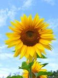 солнцецвет предпосылки естественный Зацветать солнцецвета близкий солнцецвет вверх зацветая солнцецветы поля Взгляд сверху стоковые изображения rf