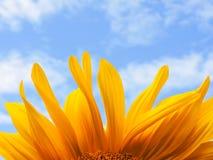 солнцецвет предпосылки естественный Зацветать солнцецвета близкий солнцецвет вверх зацветая солнцецветы поля Взгляд сверху стоковое фото rf