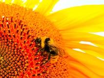 солнцецвет предпосылки естественный Зацветать солнцецвета близкий солнцецвет вверх зацветая солнцецветы поля Взгляд сверху стоковое изображение rf