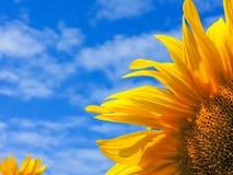 солнцецвет предпосылки естественный Зацветать солнцецвета близкий солнцецвет вверх зацветая солнцецветы поля Взгляд сверху стоковое изображение