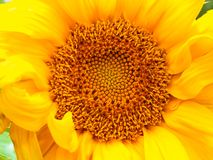 солнцецвет предпосылки естественный Зацветать солнцецвета близкий солнцецвет вверх зацветая солнцецветы поля Взгляд сверху стоковые фотографии rf