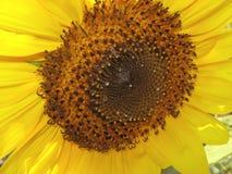 солнцецвет предпосылки Стоковое Изображение RF