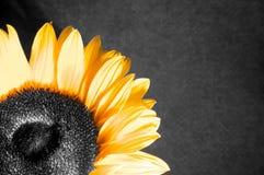 солнцецвет предпосылки Стоковое Изображение