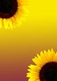 солнцецвет предпосылки Стоковые Изображения