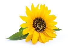 Солнцецвет при листья изолированные на белой предпосылке Стоковые Изображения RF