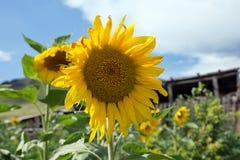 Солнцецвет против неба в саде Стоковое Фото