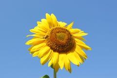 Солнцецвет пчелы меда опыляя Пчела производит мед на цветке Конец-вверх снял пчелы собирая нектар на солнцецвете Стоковое Изображение