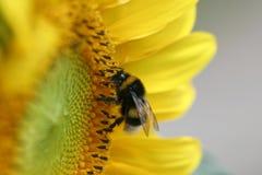солнцецвет пчелы Стоковое Фото