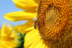 солнцецвет пчелы Стоковые Изображения RF