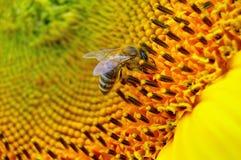солнцецвет пчелы стоковая фотография rf