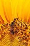 солнцецвет пчелы Стоковая Фотография