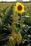 солнцецвет пшена стоковое фото rf