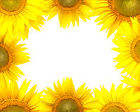 солнцецвет рамки Стоковые Фотографии RF