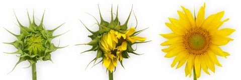 солнцецвет роста Стоковая Фотография