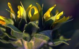 Солнцецвет сверху Стоковые Фото