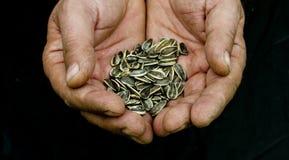 солнцецвет семян рук Стоковые Фотографии RF