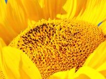 солнцецвет сердец Стоковые Фотографии RF