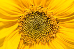 солнцецвет силы Стоковая Фотография RF