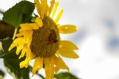Солнцецвет славная часть цветка Стоковое фото RF