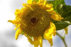 Солнцецвет славная часть цветка Стоковые Изображения RF