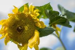 Солнцецвет славная часть цветка Стоковое Изображение RF