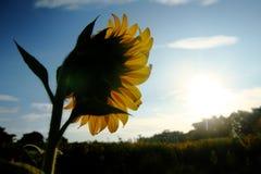 Солнцецвет смотря на небо солнечного света голубое Стоковое Изображение RF
