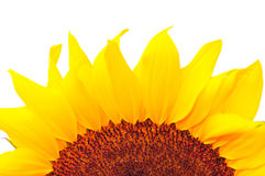 солнцецвет студии 23 серий Стоковые Фото