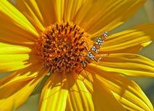 солнцецвет сумеречницы стоковые изображения rf