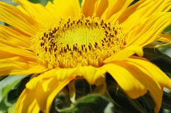 солнцецвет съемки макроса Стоковые Фотографии RF