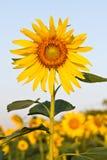 Солнцецвет с красивейшей предпосылкой. Стоковое фото RF