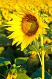 Солнцецвет с красивейшей предпосылкой. Стоковая Фотография RF