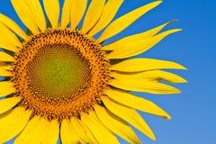 Солнцецвет с красивейшей предпосылкой. Стоковые Изображения