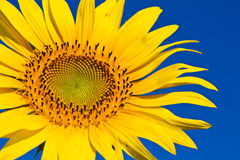 Солнцецвет с красивейшей предпосылкой. Стоковые Изображения RF