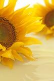 Солнцецвет с предпосылкой масла Стоковое Фото